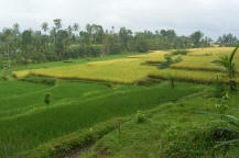 Yellow green  rice terrace